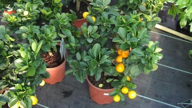 Pequeños arboles frutales que puedes plantar en macetas