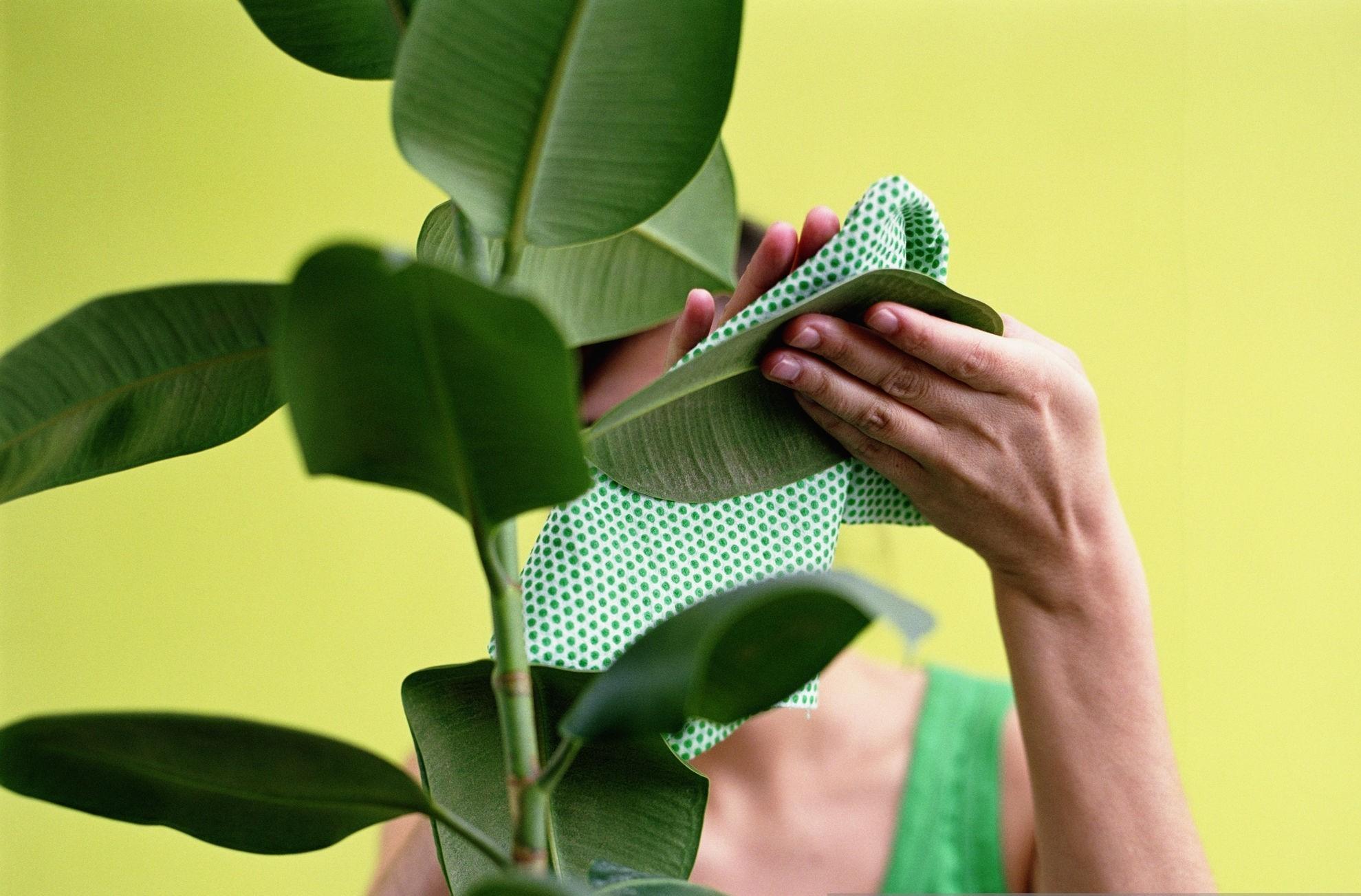 Cómo limpiar las plantas y sus hojas en casa